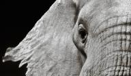 只有政府高度意愿才能拯救大象