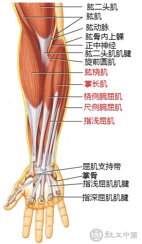 手臂掌侧肌肉示意图.